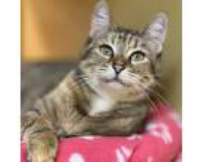 Adopt Freya a Brown or Chocolate Domestic Shorthair / Mixed cat in Houston