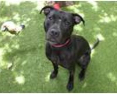 Adopt JAZZ a Pit Bull Terrier, Mixed Breed