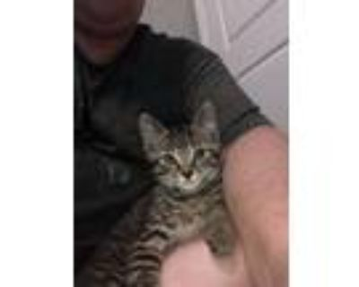 Adopt Orion a Tabby, Domestic Short Hair