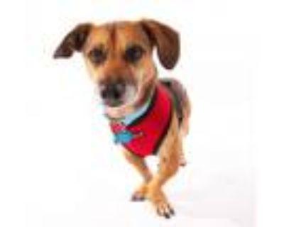 Adopt Jaxson 9034 a Brown/Chocolate Dachshund / Mixed dog in San Francisco