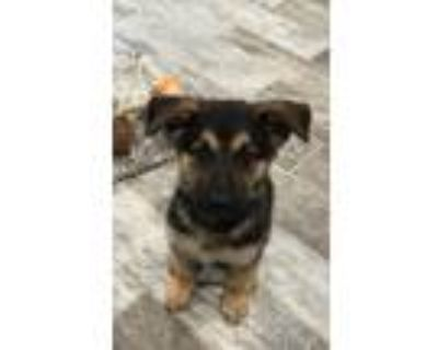 Adopt Orion a Black - with Tan, Yellow or Fawn German Shepherd Dog / Mixed dog