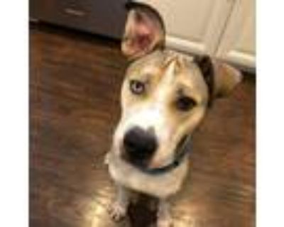 Adopt Kavik a Husky, Pit Bull Terrier