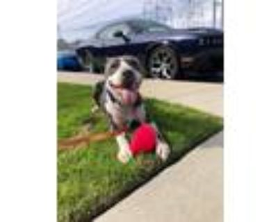 Adopt Rocky a Pit Bull Terrier