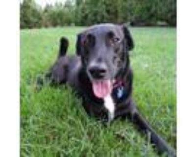 Adopt Prince a Labrador Retriever, Basenji