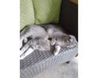 Adopt Male kitten a Gray or Blue (Mostly) Domestic Shorthair / Mixed (short