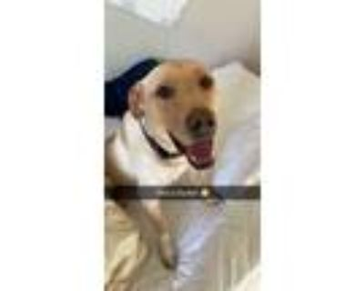 Adopt Dunkin a Tan/Yellow/Fawn Labrador Retriever / Pointer / Mixed dog in