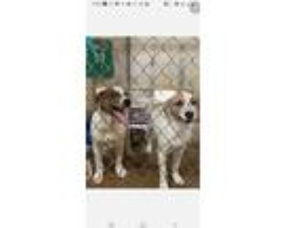 Adopt Hansel a White - with Brown or Chocolate Mixed Breed (Medium) / Mixed dog
