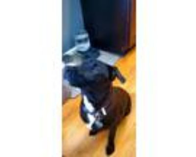 Adopt Lissy's Harry/Odin a Pit Bull Terrier