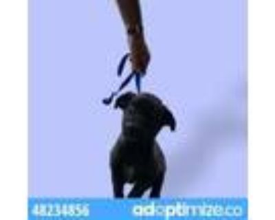 Adopt 48234856 a Black Retriever (Unknown Type) / Mixed dog in El Paso