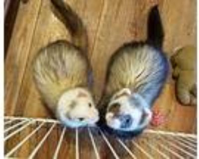 Chucky And Tiffany, Ferret For Adoption In Brandy Station, Virginia