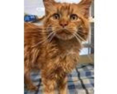 Adopt THUMBS a Orange or Red (Mostly) Maine Coon / Mixed (long coat) cat in
