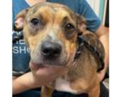 Adopt Miss Mary a Brown/Chocolate Dachshund / Mixed dog in Mission