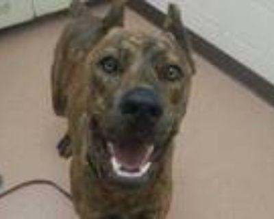 Adopt Suko a Brown/Chocolate Cane Corso / Mixed dog in Boulder, CO (32072884)