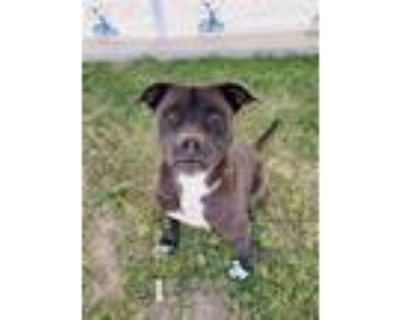 Adopt TYSON a Black American Pit Bull Terrier / Mixed dog in Bakersfield
