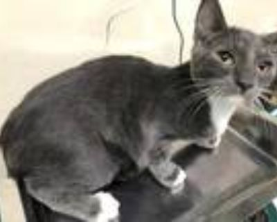 Adopt BUZZ a Gray or Blue (Mostly) Domestic Shorthair / Mixed (short coat) cat