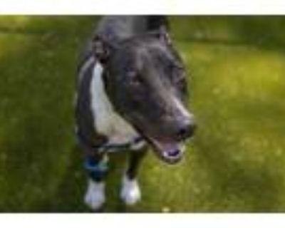 Adopt Diggs a Black Labrador Retriever / Mixed dog in Woodbury, MN (32112548)