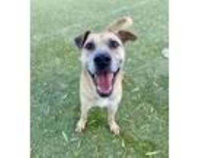 Adopt DUKE WAYNE a White Black Mouth Cur / Pit Bull Terrier / Mixed dog in El