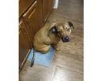 Adopt Roscoe a Tan/Yellow/Fawn - with Black Boxer / Labrador Retriever / Mixed