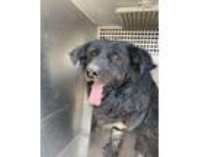 Adopt YUZU a Labrador Retriever, Mixed Breed