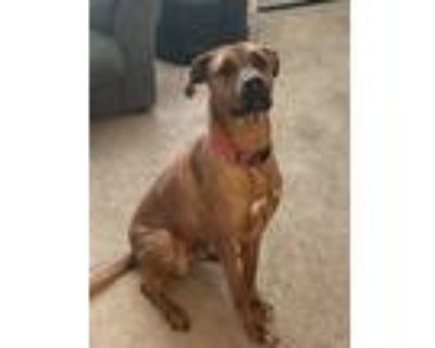 Adopt Brock a Brown/Chocolate - with White Boxer / Hound (Unknown Type) / Mixed