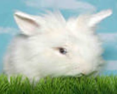 Adopt BANJO a White Other/Unknown / Mixed rabbit in Alameda, CA (31978585)