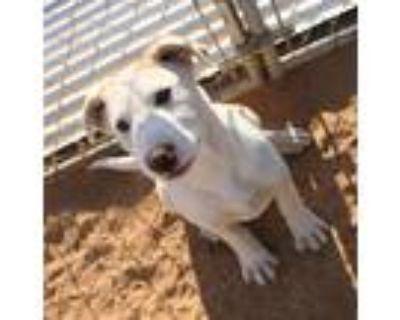 Adopt Sunny a Tan/Yellow/Fawn Labrador Retriever / Mixed dog in Apple Valley