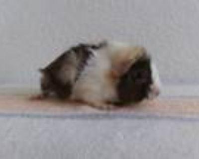Adopt KING a Guinea Pig