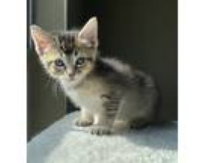 Adopt Thunder a Domestic Shorthair / Mixed cat in Norman, OK (31684286)