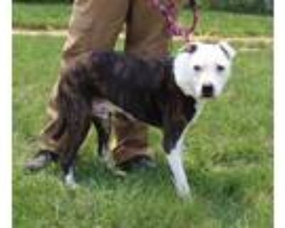 Adopt DEANTE a Brindle - with White Boxer / Mixed dog in Louisville