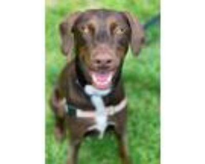 Adopt Bert a Brown/Chocolate Doberman Pinscher / Labrador Retriever / Mixed dog