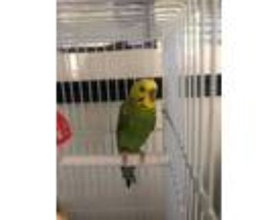 Blues, Parakeet - Other For Adoption In Chicago, Illinois