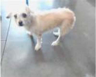 Adopt BERRY a Tan/Yellow/Fawn Cairn Terrier / Mixed dog in Phoenix