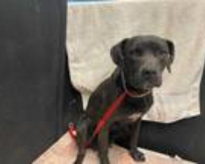 Adopt ASTRO a Black American Pit Bull Terrier / Mixed dog in Lancaster