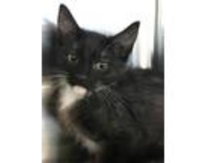 Adopt Imperial a All Black Domestic Shorthair / Domestic Shorthair / Mixed cat
