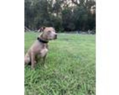 Adopt Red a Tan/Yellow/Fawn American Pit Bull Terrier / Mixed dog in Chico