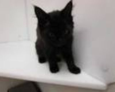 Adopt Izzy a All Black Domestic Mediumhair / Mixed cat in Boulder, CO (32051654)