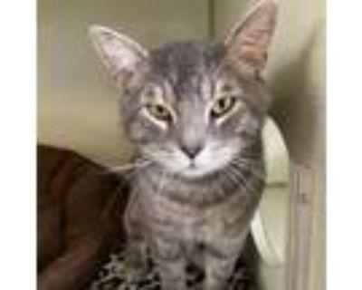 Adopt Biggie Houston Combs a Domestic Short Hair