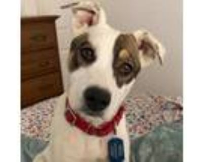 Adopt Cookie a White - with Tan, Yellow or Fawn Collie / Husky / Mixed dog in