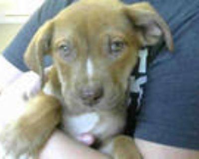 Adopt WHISKEY a Brown/Chocolate Labrador Retriever / Mixed dog in Atlanta