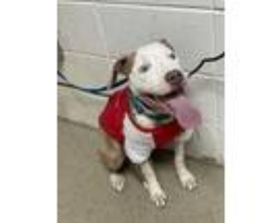 Adopt Cash a Brown/Chocolate American Pit Bull Terrier / Mixed dog in Fort