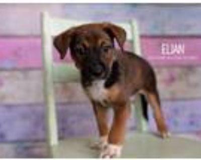 Adopt Elian a Australian Cattle Dog / Blue Heeler