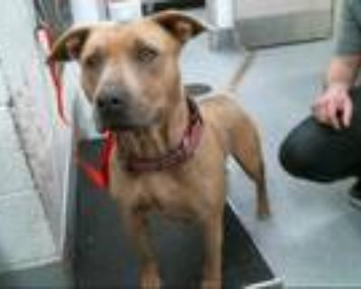 Adopt LALA a Tan/Yellow/Fawn - with White American Pit Bull Terrier / Mixed dog