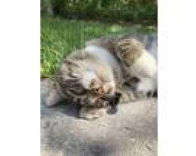 Adopt Ebie a Brown Tabby Domestic Mediumhair / Mixed (medium coat) cat in