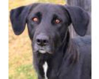 Adopt Blackberry a Labrador Retriever, Mixed Breed