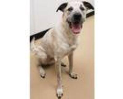Adopt Spike a German Shepherd Dog, Australian Cattle Dog / Blue Heeler