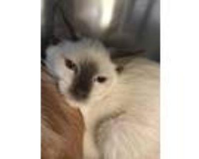Adopt Pecan a Siamese, Domestic Short Hair