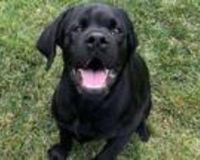 Adopt Ted a Black Labrador Retriever / Mixed dog in Boulder, CO (32107791)