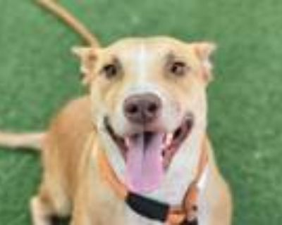 Adopt CYNTHIA ANN a American Staffordshire Terrier, Shar-Pei