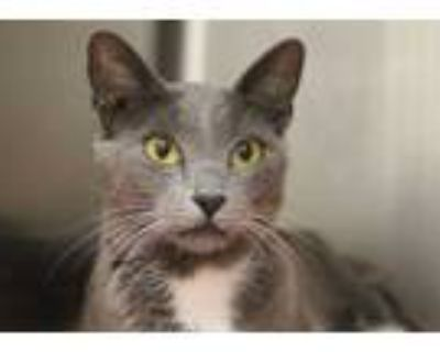 Adopt ANGEL* a Gray or Blue (Mostly) Russian Blue / Mixed (short coat) cat in