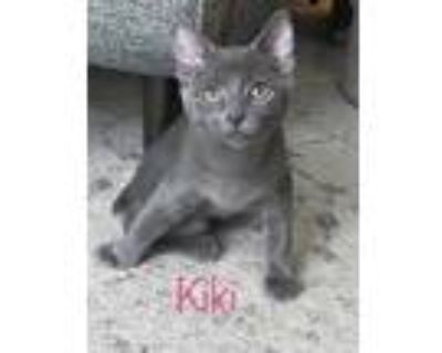 Adopt Spock a Gray or Blue Domestic Shorthair / Domestic Shorthair / Mixed cat